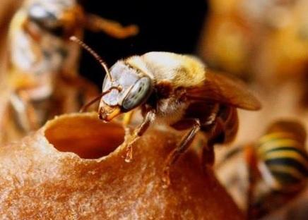 Kubánska včela Melipona becheii