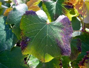 vinič, ktorému chýba fosfor