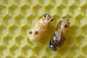 klieštik včelí na trúdovi