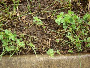 Tipuľa a jej larvy