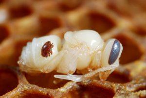 klieštik včelí-samička