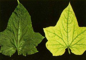 chýbajúce železo v rastline