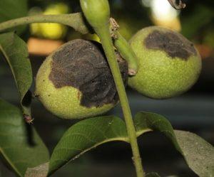 škvrnitosť orecha