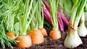 Kombinovaná výsadba zeleniny