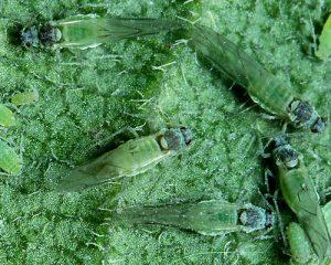 Slivky a ringloty - choroby a škodcovia