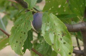 Ohyllosticta prunicola