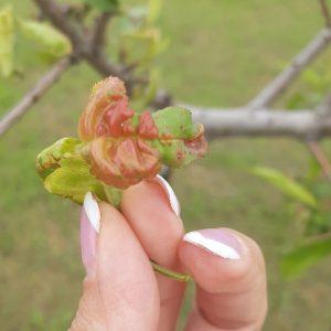 Kučeravosť listov broskyne (Taphrina deformans)
