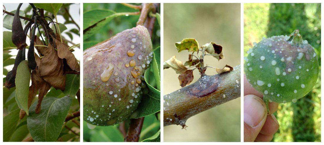 Bakteriálna spála ružovitých rastlín (Erwinia amylovora)