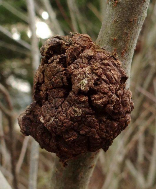 Bakteriálna nádorovitosť koreňov (Agrobacterium tumefaciens)