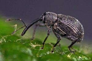 Jahody - choroby a škodcovia