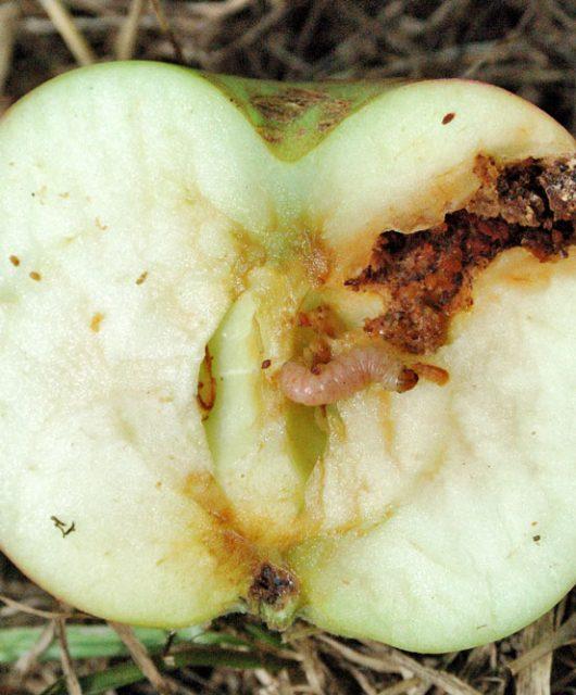Obaľovač jablčný - Cydia pomonella