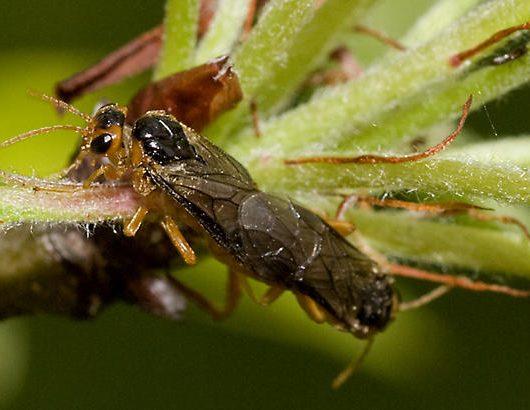 Piliarka jabloňová - Hoplocampa testudinea
