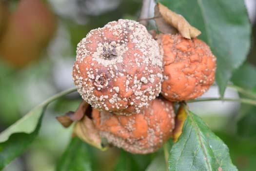 Monilióza jadrového ovocia (Monilinia fructigena, anamorfa: Monilia fructigena)