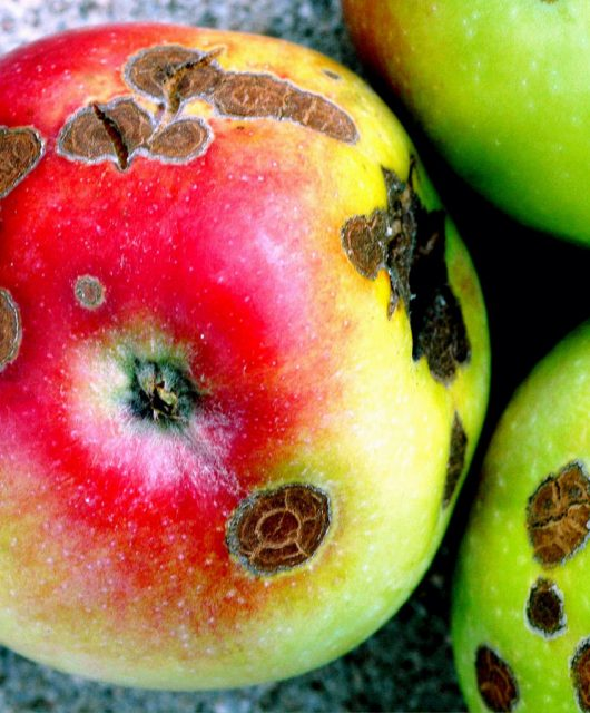 Chrastavitosť jabloní (Venturia inaequalis)