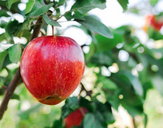 Jabloň - poruchy vyvolané nedostatkom živín