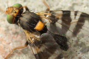 Vrtivka čerešňová - Rhogoletis cerasi