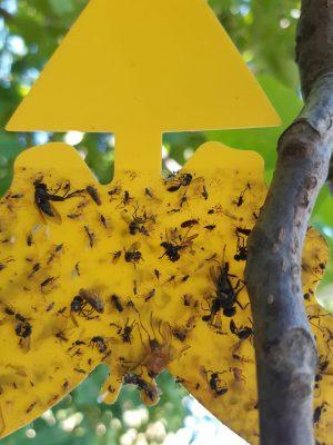 Baktériová škvrnitosť - Xanthomonas juglandis
