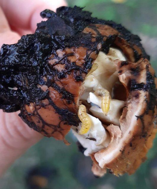vrtivka orechová